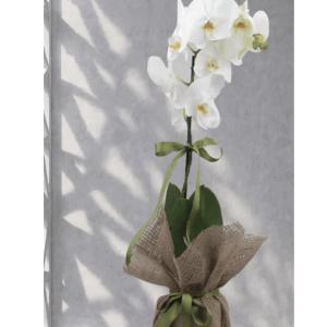 Tek Dal İthal Beyaz Orkide Tomurcuklu Seramik Vazo İçinde Asaletin Simgesi Orkide Çiçeği Gönderimi Bizzat alıcıya verilen adrese ve zamanında teslimatı yapılır *Tek Dal Hollanda Ürünü Orkide *Seramik Saksı *Nazar Boncukları Kurdele Uğur Böcekleri